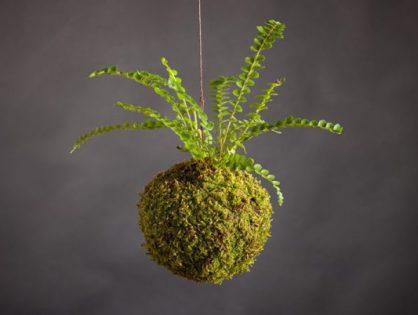 Kokedama - japońska sztuka kwiatowa, wiszące, roślinne kule